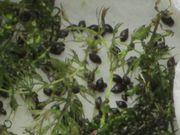 Blasenschnecken Futterschnecken,Algenkiller
