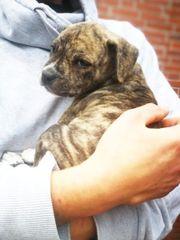 pitbull bulldog Welpen