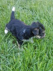 Biewer Yorkshire Terrier-