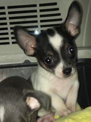 Chihuahua Junge abzugeben
