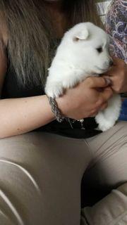Zwergspitz Pomeranian