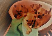 4 Mini Chihuahua Rüder sucht