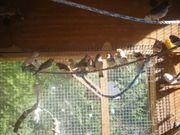 Zebrafinken aus Freivoliere