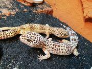 3 Leopard-Geckos