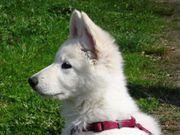 Weißer Schweizer Schäferhund Welpen - Wurfplanung