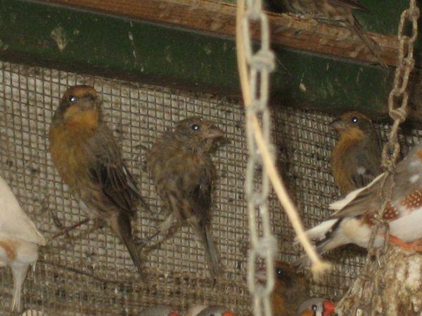 Mexikanischer Karmingimpel Vogel zuchtreife und