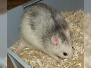 Ratten klein bis