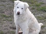 Junger Herdenschutzhund Maremmano Rüde Arthur