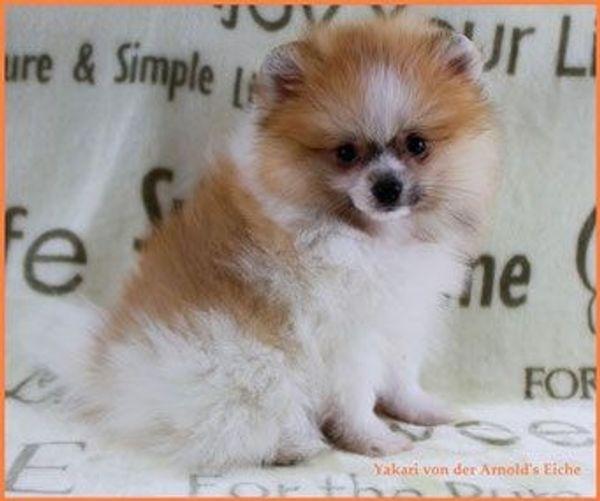 Teacup Pomeranian Rüdenwelpe orangegescheckt
