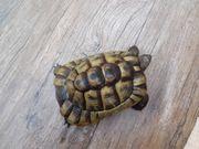 Maurische Landschildkröte 11