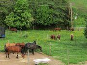 Quarterhorse - Jungpferd