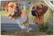 Rhodesian Ridgeback Welpen Wurfankündigung Frühjahr