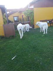 Pyrenäenberghund Welpen 2 Rüden u