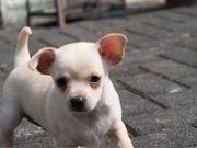 Chihuahua Mix Welpe