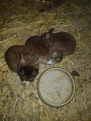 Junge Kaninchen zu verkaufen