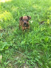 Zwergpinscher Mix Chihuahua