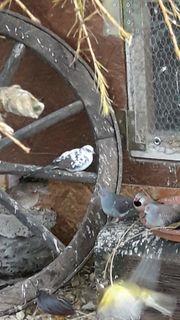 Diamanttauben kanarien zwergwachteln zebrafinken und
