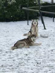 2 Hündinen Husky