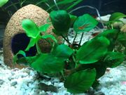 Rote Süßwasser Garnelen