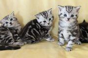 BKH Kitten Silber