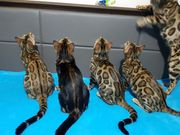 Reinrassige Bengal Kitten zum Verkauf