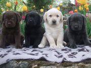 Labradorwelpen in den