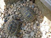 Landschildkröte Testudo hermanni boettgeri 0