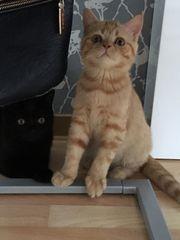 Scottisch Straigt Kitten