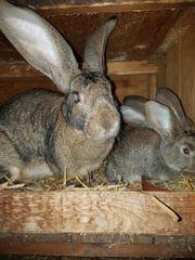 Kaninchen, Deutsche Riesen,