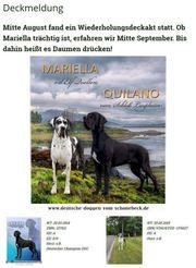 Deckmeldung Deutsche Dogge