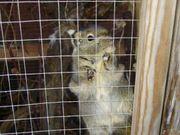 Baumstreifenhörnchen zu verkaufen