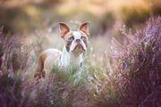 Boston Terrier Deckrüde