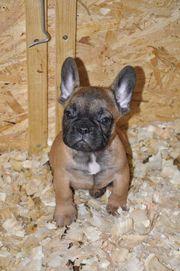Französische Bulldoggen Bauträger