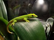 Madagaskar Taggecko Phelsuma grandis Nachzucht