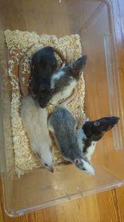 Handzahme Ratten
