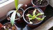 Kannenpflanze Hybrid Nepenthes
