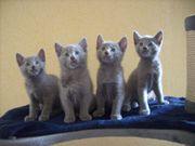 Russisch Blau Kätzchen mit Impfungen