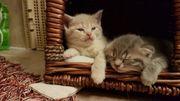 BKH Kitten/ Scottish
