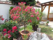 Schön blühende Oleander zu verkaufen