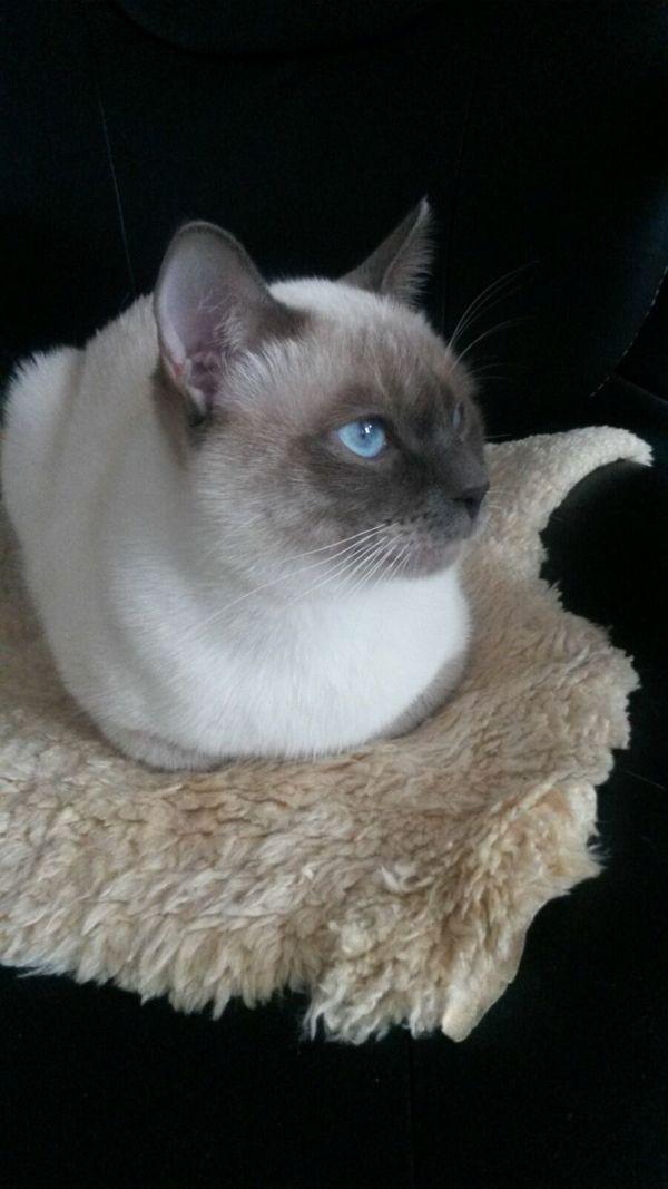 Wunderschöner, reinrassiger Deckkater , mit Erfahrung-Thai, Siam , Britisch Kurzhaar - Coburg - ThaikatzeerwachsenKEIN VERKAUF !!!Wunderschöner, reinrassiger, großer und kräftiger Deckkater , mit Erfahrung , in der schönen Farbe Blue point , mit blauen Augen steht gesunden rolligen Katzendamen zur Verfügung.Der Kater ist gesund, geimpf - Coburg