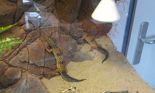 Leopardgeckos » Reptilien, Terraristik