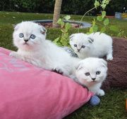 Traumhaften Skottish Folg BKH Kitten