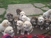 Herdenschutzhund Welpen Pyrenäen