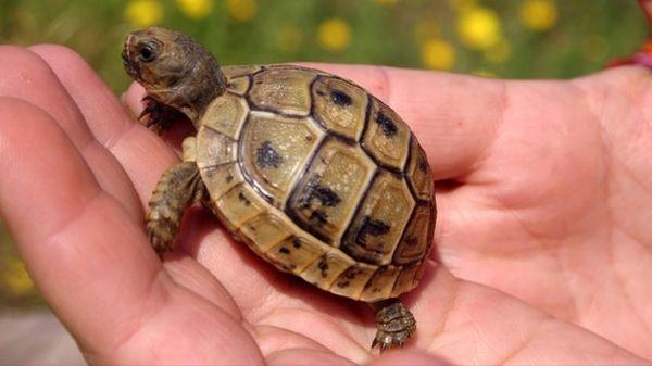 Suche Griechische Landschildkröte