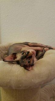 Kastrierte Sphynx Katze