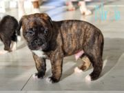 Boxer Bulldog Mix Welpen