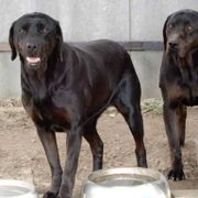 Bessy nette Labrador-Mix-Hündin ca 10