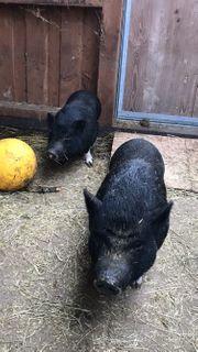 Minischweinchen Minipigs