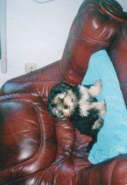 Hübscher Yorkshire-Terrier