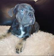 Französische bulldogg Welpen blue tan